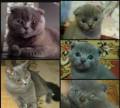 Шотландские вислоухие котята, Армянск