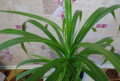 Панданус винтовая пальма, Сургут