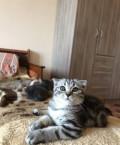 Британские котята, Мытищи