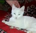 Голубоглазый кастрированный котик В добрые руки, Махачкала