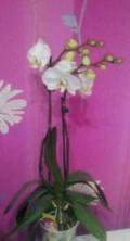 Орхидея фаленопсис, Брянск
