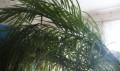 Финиковая пальма, Валуйки