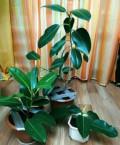 Продам молодые комнатные фикусы, Башмаково