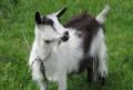 Коза, 1 год и два месяца, Белгород