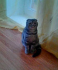 Кошка шотландская, Березники