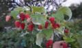 Саженцы малины, ежевики, голубики садовой, Брянск