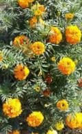 Семена, бархатцы, шафран, люпин, календула, вьюн роз, Челябинск
