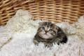 Шотландские котята, Котовск