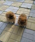 Чудо щенки, Комсомольск-на-Амуре