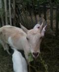 Коза с 3мя козлятами, Короча
