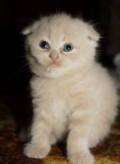 Шотландские котята, Валуйки