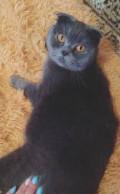 Британские котята, Белгород