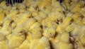 Суточные, подрощенные цыплята бройлера Хаббард, Можайск