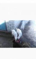Коза и козлята, Урмары