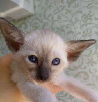 Ориентальные сиамские котята сил пойнт москва