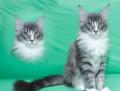 Продаю котят породы мейн-кун, Нижний Новгород