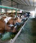 Коровы разных пород, Белгород