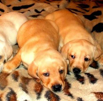 Labradorciki палевые ждут вас