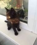 Котенок от британской кошки, Тамбов