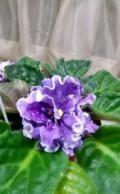Фиалка Ultra Violet Nebula, Калачинск