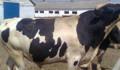 Телята бычки здоровые от 2 недель и старше крс, Самара