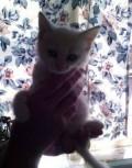 Отдам замечательных котят в добрые руки, Семендер