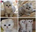 Шотландские котята драгоценного окраса, Белогорск