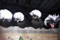 Голландские белохохлые семья, Шерегеш