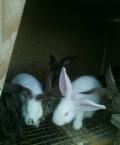 Кролик, Каспийск