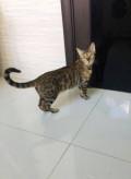 Бенгальская кошка, Черноисточинск