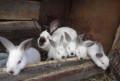 Калифорнийские кролики, Старый Оскол
