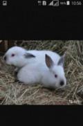 Калифорнийские крольчата, Гусев