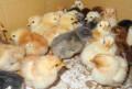 Продам цыплят, Симферополь