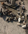 Индаутки утки цыплята, Дагестанские Огни