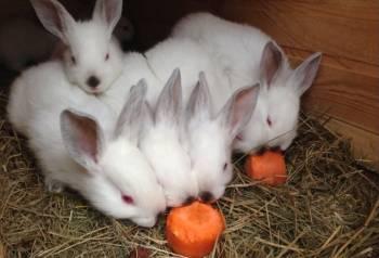Калифорнийские и новозеландские красные кролики