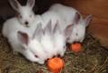 Калифорнийские и новозеландские красные кролики, Нахабино