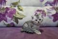 Котята шотландской вислоухой, Новоузенск