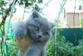 Продам британского котенка, Большая Мартыновка