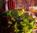 Волнистые попугаи, Железнодорожный