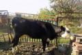Корова на мясо, Ленинградская
