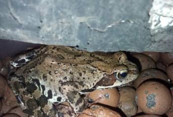 Кормовые лягушки (Rana temporaria), запчасти на урал 4320 цена
