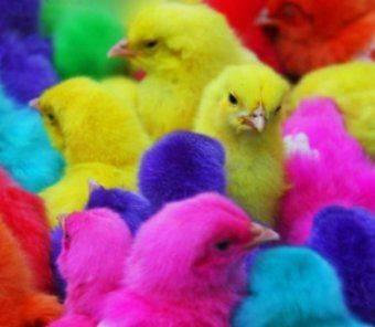 Цыплята бройлерные (суточные и подрощенные)