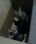 Котятки от кошки крысолова, Ярославль