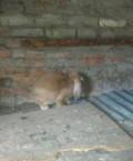 Продам кроликов француский баран немецкий пестрый, Уварово