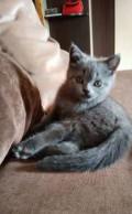 Чистокровные шотландские котята, Тамбов