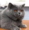 Британский плюшевый кот Вязка, Поворино