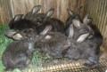 Кролик, Тамбов