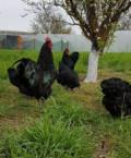 Цыплята подрощенные, Симферополь