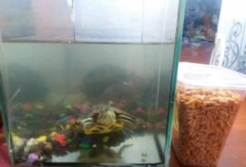 Водная черепашка, Ижевск, цена: 300р.