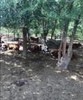 Коровы калмычки, Ипатово